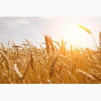 Купуємо пшеницю фуражну також 3клас по Тернопільській області