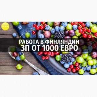 Открыт на набор в Финляндию на сбор лесной ягоды, поспешите забронировать места