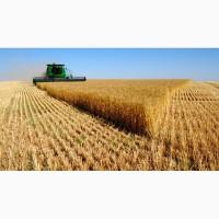 Велика компанія на постійній основі і на вигідних умовах закуповує пшеницю