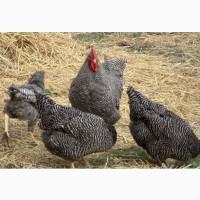Імпортні інкубаційні яйця Домінант