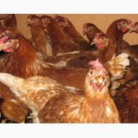 Імпортні інкубаційні яйця Ломан Браун