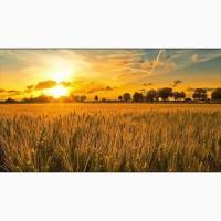 Закуповуємо пшеницю 2 кл, 3 кл, фураж