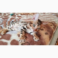 Купить бенгальского кота Одесса. Бенгальский котенок Одесса
