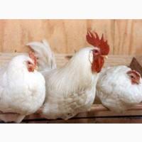 Імпортні інкубаційні яйця Ломан Вайт
