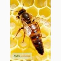 Продам пчёломатки и семй