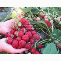 Самая вкусная ягода Веденсвил-7(клубника-малина)