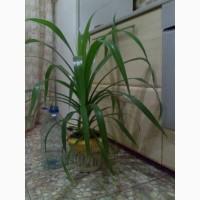 Пандан, панданус, винтовая пальма