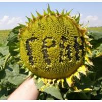 Продам: насіння соняшника Олівер