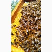 Продаються бджоломатки карпатка, Червеньово