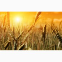 Закуповуємо відходи кукурудзи (вологу кукурудзу)
