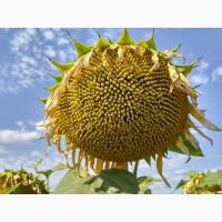 НС 498 насіння соняшнику