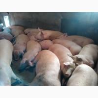 Продам свиней 140 кг