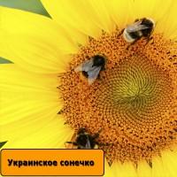 Насіння соняшнику Українське сонечко / Семена подсолнечника Українське сонечко