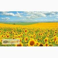 Посевной материал Подсолнечник Соняшник Альдазор (под гранстар 50 гр)