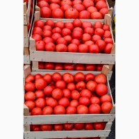 Продажа помидоров реализация доставка опт