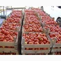 Реализуем оптом помидоры