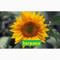Насіння соняшника ЗАГРАВА / семена подсолнуха Заграва купить / доставка, оригинальные