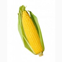 Урожайность в Днепр. обл. 13т с гектара!Семена кукурузы CORBIN FS - 89, Канада