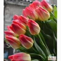 Принимаются заказы на луковицы тюльпанов для выгонки на 8 марта