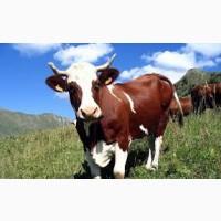 Купим баранов быков коров лошадей дорого