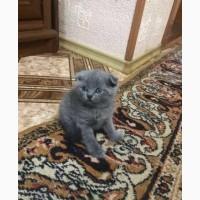 Продам британских веслоухих котят