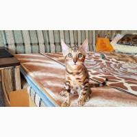 Бенгальская кошка купить. Бенгальские котята