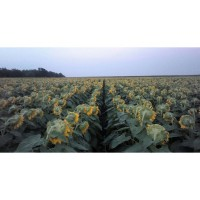 Семена подсолнечника Бомонд, (фракция стандарт) гранстароустойчивый гибрид F1