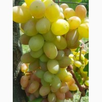 Распродажа винограда