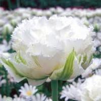 Продаю луковицы махровых тюльпанов (желтые, белые)