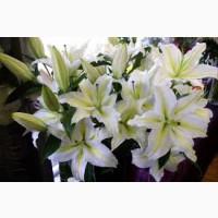 Продам луковицы белой лилии