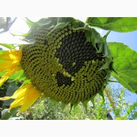 Насіння соняшника, толерантний до Євро-Лайтнінгу / соняшник Армагедон