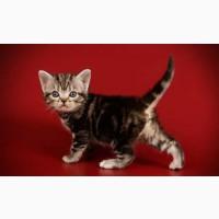 Продажа котят. Американские короткошерстные котята