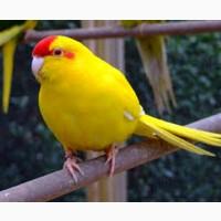 Продам попугаев, карелл и какариков