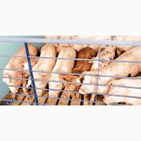 Свинина беконная живым весом