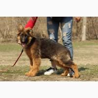 Невероятно яркие, перспективные щенки немецкой овчарки КСУ