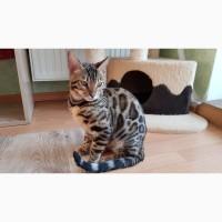 Купить бенгальского кота Одесса