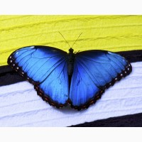Живая бабочка Морфо - самый оригинальный сюрприз