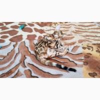 Бенгальская кошка Львов. Купить бенгальского кота Львов