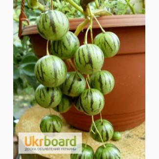 Тзимбало или Паслен карипенс или мини Пепино (лат. Solanum caripense)